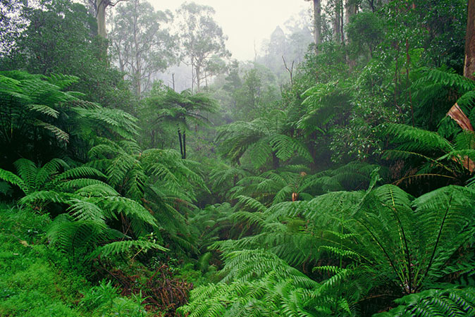 Image of bright green ferns at Fern Gully Nature Walk