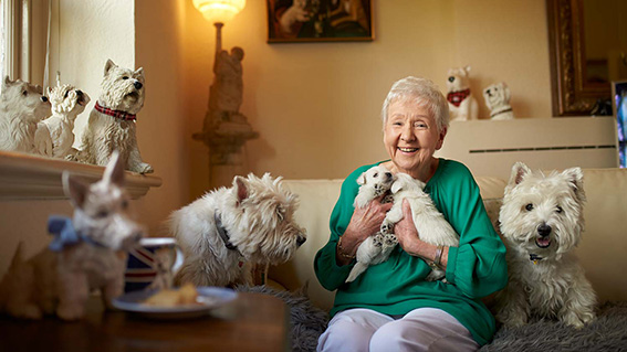 A senior lady is sitting on her couch surrounded by West Highland White Terrier paraphernalia. She is holding two West Highland White Terrier puppies and has an adult West Highland White Terriers on either side of her. She is smiling at the camera
